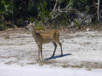 Endangered Key deer